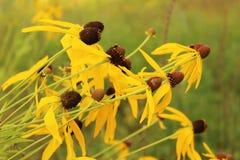 Желтые wildflowers прерии Стоковые Изображения
