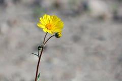 Желтые Wildflowers пустыни маргаритки дезертируют canescens Geraea золота Стоковое Изображение RF