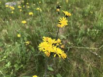 Желтые wildflowers стоковая фотография