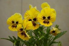 Желтый альт Стоковые Изображения RF