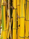 Желтый бамбук стоковые фото
