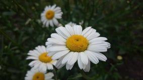 Желтый белый стоцвет Стоковые Изображения