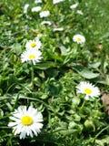 Желтый белый цветок Стоковое Изображение RF