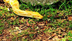 Желтый бирманский питон (bivittatus питона) Стоковое Изображение RF