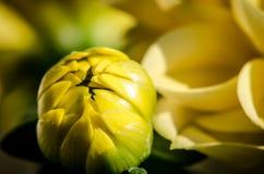 Желтый бутон георгина Стоковое Изображение RF
