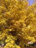 Желтый вал осени Стоковые Изображения