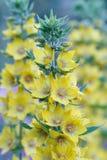 Желтый вербейник цветет крупный план в саде Стоковое Изображение RF