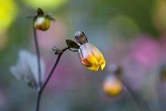 Желтый взгляд макроса бутона цветка георгина лепестков Малая глубина поля, мягкого фокуса Стоковое Изображение