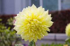 Желтый георгин Стоковая Фотография