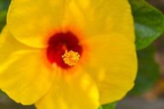 Желтый гибискус в саде Стоковое Фото