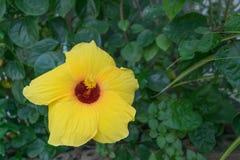 Желтый гибискус на естественной предпосылке Стоковая Фотография