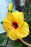 Желтый гибискус Стоковое Изображение