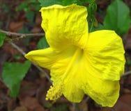 Желтый гибискус Стоковое Фото