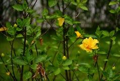 Желтый гибискус Стоковая Фотография