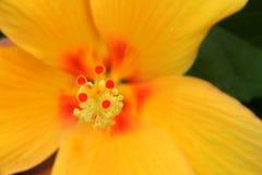 Желтый гибискус Стоковые Фотографии RF