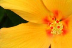 Желтый гибискус Стоковые Изображения