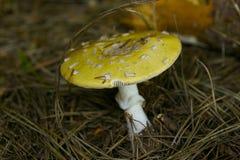 Желтый гриб стоковое изображение rf