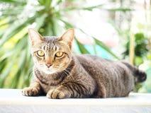 Желтый глаз и черный тайский смотреть кота Стоковое Изображение RF