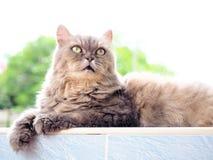 Желтый глаз от серый смотреть персидского кота Стоковое фото RF