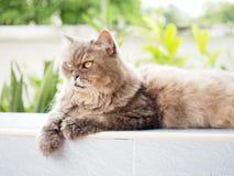 Желтый глаз от старый серый смотреть персидского кота Стоковые Фото