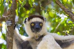 Желтый глубокий пристальный взгляд наблюдает на белом лемуре в Мадагаскаре Стоковое Изображение RF