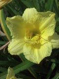 Желтый день lilly Стоковое Изображение