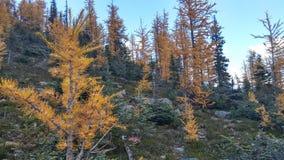 Желтый лес лиственницы в осени стоковые изображения rf