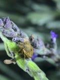 Желтый жук на лаванде Стоковое Изображение