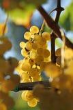 Желтый завтрак-обед виноградины Стоковые Изображения