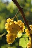 Желтый завтрак-обед виноградины Стоковое Изображение RF