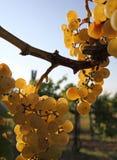 Желтый завтрак-обед виноградины Стоковая Фотография RF