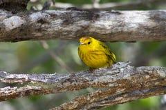 Желтый зяблик Стоковые Изображения