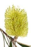 Желтый изолированный цветок Banksia Стоковые Фото