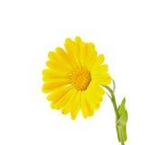 Желтый изолированный calendula Стоковые Изображения