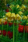 Желтый имперский рябчик Стоковое Изображение RF