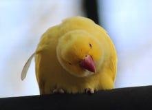 Желтый длиннохвостый попугай Розы окружённый стоковые изображения rf