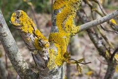 Желтый лишайник на дереве Стоковые Фото