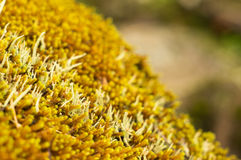 Желтый лишайник на утесе создавая красивую картину Стоковое Изображение RF