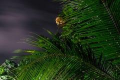 Желтый и белый plumeria цветет на дереве в саде тропического острова Бали, Индонезии Съемка ночи Стоковые Изображения RF