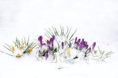 Цветки крокуса в снежке Стоковые Фотографии RF
