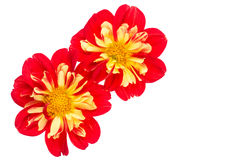 Желтый и красный георгин на белизне Стоковое Изображение