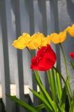 Желтый и красный цветок тюльпанов стоковые фото