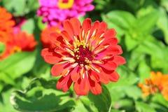 Желтый и красный цветок Стоковое Изображение RF