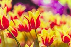 Желтый и красный цвет цветет сад тюльпана весной Стоковые Изображения RF