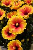 Желтый и оранжевый цветок гибискуса Стоковые Изображения