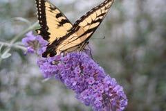 Желтый кабель ласточки на кусте бабочки Стоковое фото RF