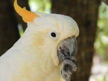 Желтый какаду Creasted стоковое фото rf