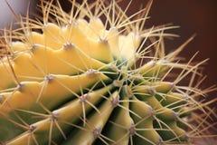 Желтый кактус Стоковые Изображения RF