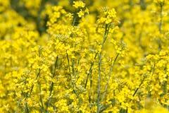 Желтый канола цветок Стоковое Фото