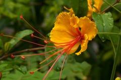 Желтый карлик Poinciana. Стоковые Изображения RF
